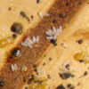 Thumbnail image for Bed bug eggs hatching