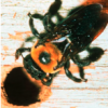 Thumbnail image for Can your spray prevent carpenter bees?