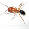 Thumbnail image for Carpenter Ants For Sale In Florida