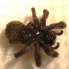 Thumbnail image for Why do spiders die with their legs curled up?