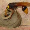 Thumbnail image for How To Remove A Mud Daubers Nest