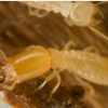 Thumbnail image for CYA Real Estate Termite Inspections Series 4&5