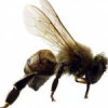 Thumbnail image for Africanized Bees aka Killer Bees