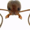 Thumbnail image for The Argentine Ant