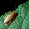 Thumbnail image for The Flying Asian Cockroach
