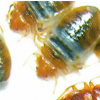 Thumbnail image for Bed Bugs For The Poor