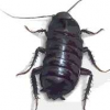 Thumbnail image for Oriental Cockroach