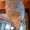 Thumbnail image for How To Get Rid Of A Hornets Nest
