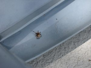 045 300x225 Black Widow spiders