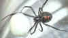 blackwidowspider small Black Widow spiders