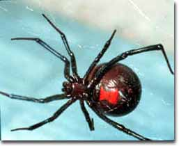 bwidow Black Widow spiders