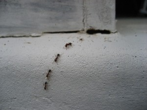 ants in trail pestcemetery 300x225 Things that go bite in the night
