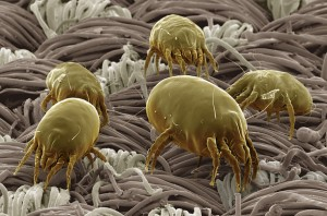 dust mite pestcemetery 300x198 Things that go bite in the night