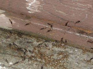 earwigs on wet wood pest cemetery 300x225 The legend of the Earwig
