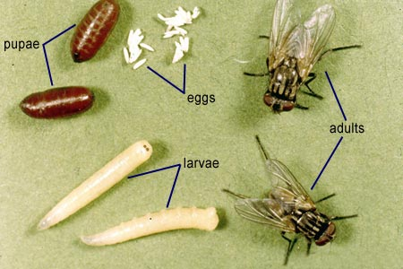 how to dry fruit fruit fly lifespan