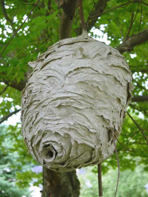 Ground Hornets Nest Look Like http://triumphantpestcontrol.wordpress.com/2010/07/15/social-insects-baldfaced-hornets/
