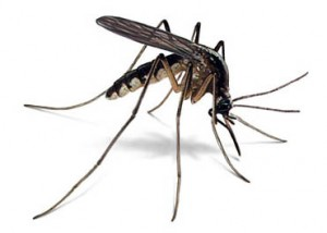 mosquito pestcemetery 300x214 Home remedies that dont work