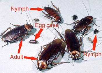 pictures of cockroaches species