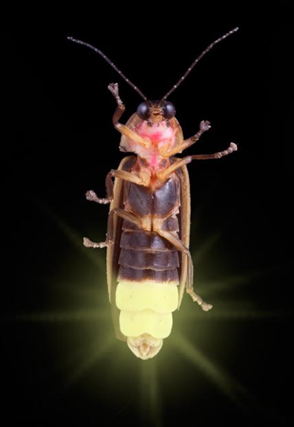 Lightning bug - photo#8