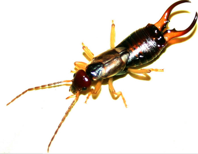 Photos of Insects with Pinchers http://pestcemetery.com/pincer-bugs-aka-earwigs/
