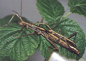 two strippped walking stick pair pestcemetery 300x214 Spitting devils are just a walking stick