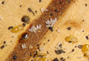 Post image for Bed bug eggs hatching