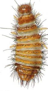 carpet beetle larvae pestcemetery.com