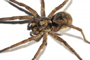 wolf spider pestcemetery1 300x200 The wolf spider
