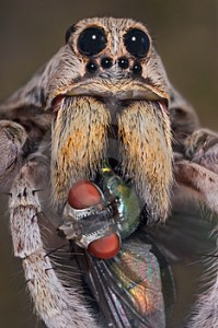 wolf spider with caught fly pestcemetery2 199x300 The wolf spider