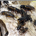 crickets pestcemetery.com