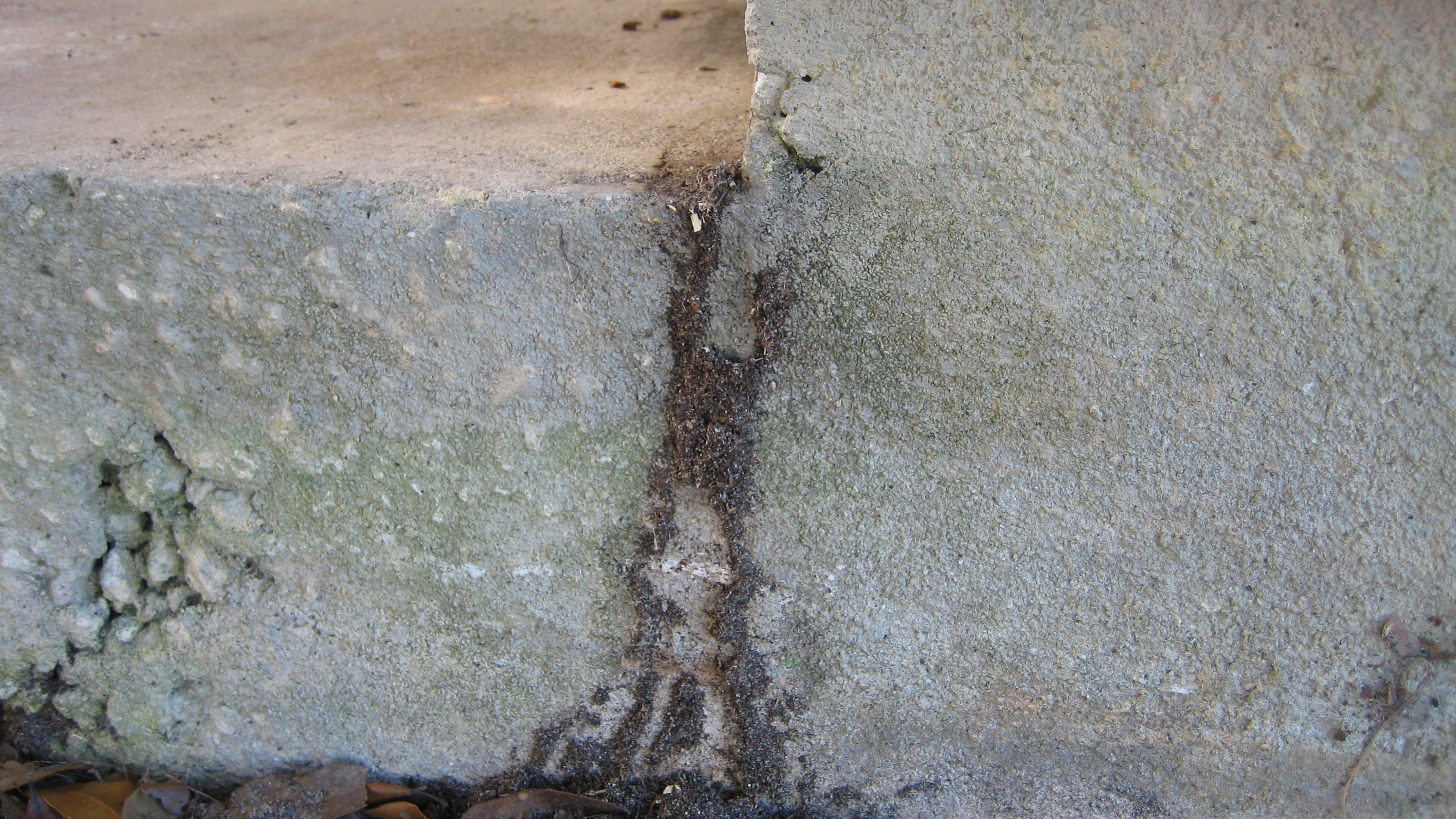 Ant tunnel. The mysterious above ground ant tunnels   Pest Cemetery