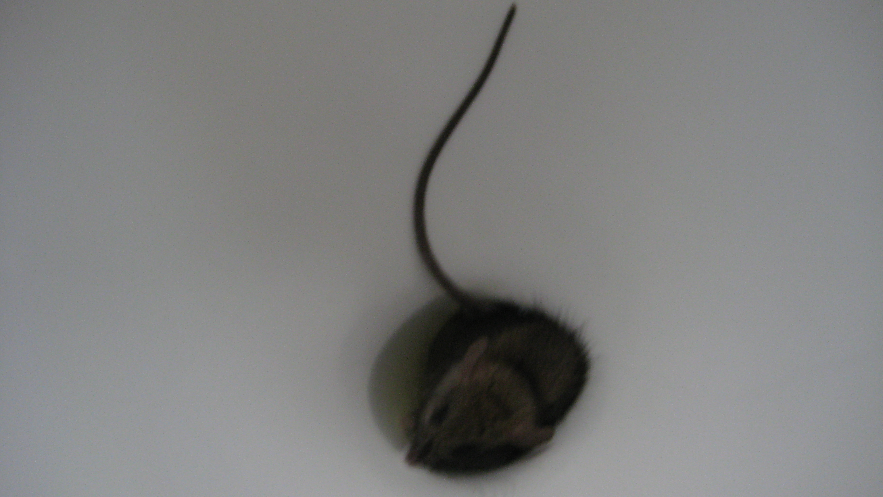 Can Rats Come Up Through Your Toilet? | Pest Cemetery