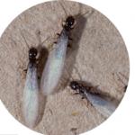 swarmer termites pestcemetery.com