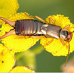 Post image for Prepare and prevent the earwig this year