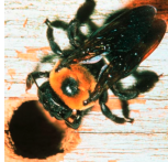 Post image for Can your spray prevent carpenter bees?