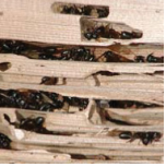 Post image for Carpenter ants