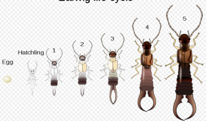 Picture 2 300x175 Top 3 reasons you have earwigs & the 7 links to get rid of them