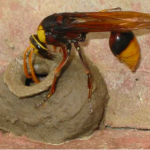 Post image for How To Remove A Mud Daubers Nest