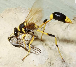 Picture 25 300x263 How To Remove A Mud Daubers Nest