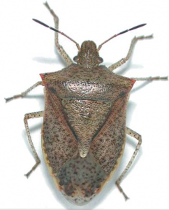 Post image for Chinese drywall and Brown Stink bugs