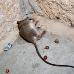Post image for Do mice stink when they die?