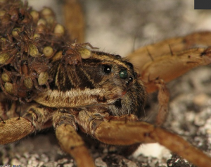 Post image for Spider Babies Hatch Despite Dead Mother