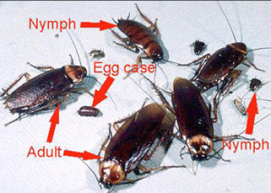 Difference Between a Cockroach and a Palmetto Bug  Orkincom