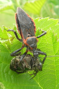 Picture 2 200x300 Assassin Bugs