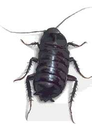Post image for Oriental Cockroach