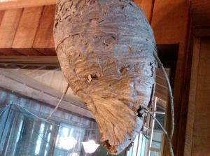 Post image for How To Get Rid Of A Hornets Nest