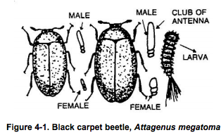 Black carpet beetle http://pestcemetery.com/