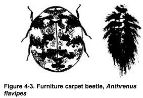 furniture carpet beetle http://pestcemetery.com/