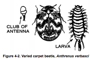 varied carpet beetle http://pestcemetery.com/