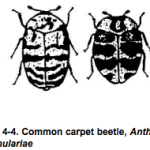 common carpet beetle http://pestcemetery.com/